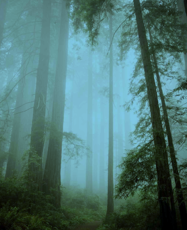 California's Giant Redwoods in fog.